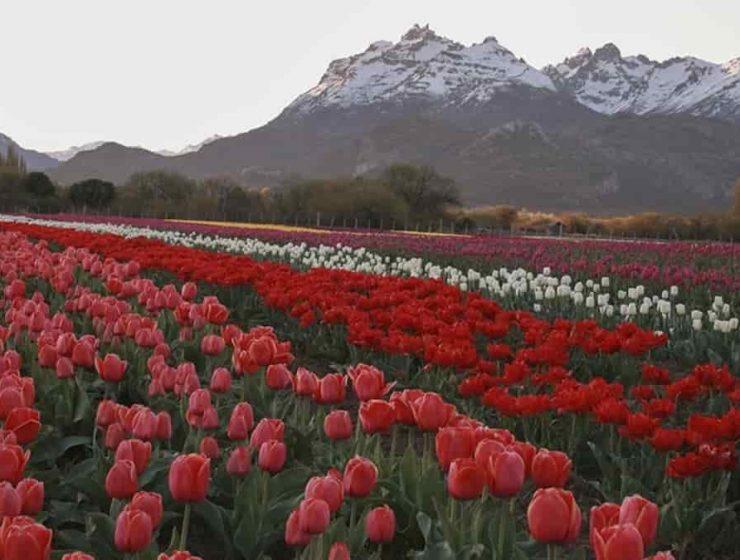 trevelin tulipanes