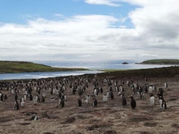 malvinas pinguinos