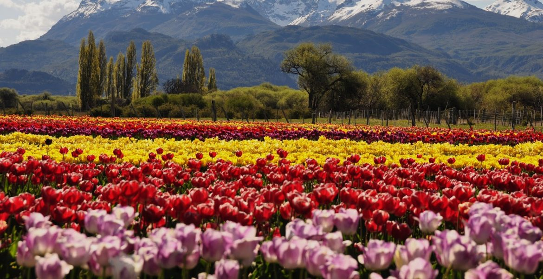 tulipanes al pie de la cordillera
