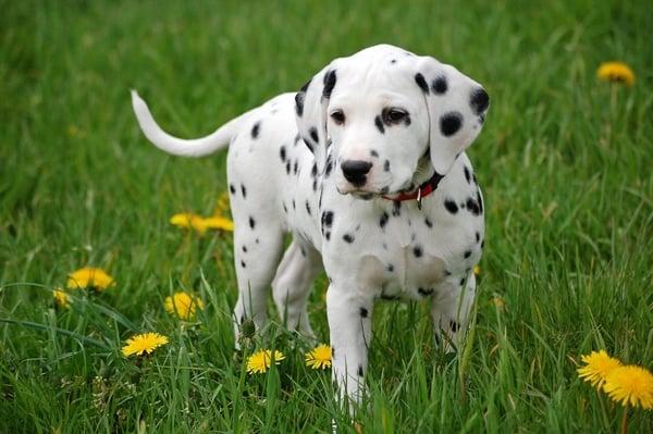 razas de perros dalmata