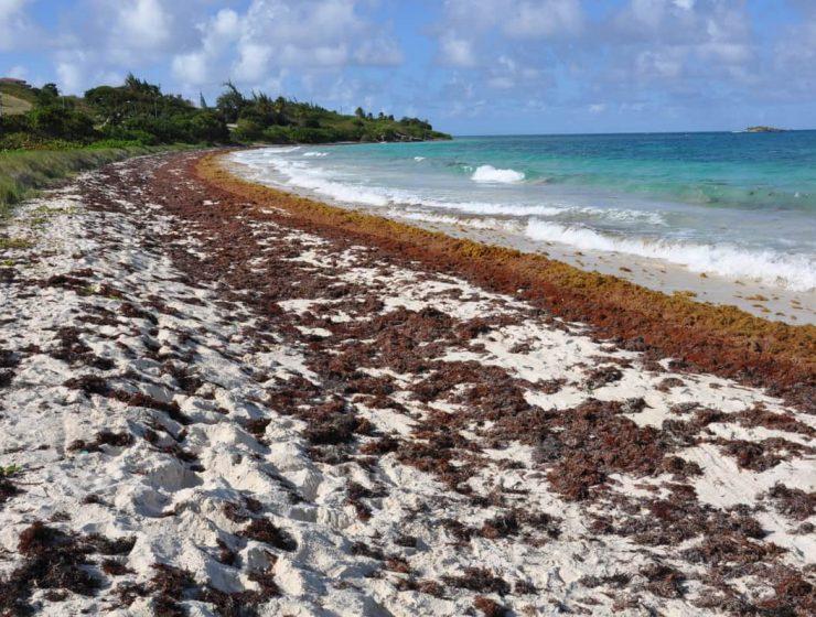alerta algas en el caribe