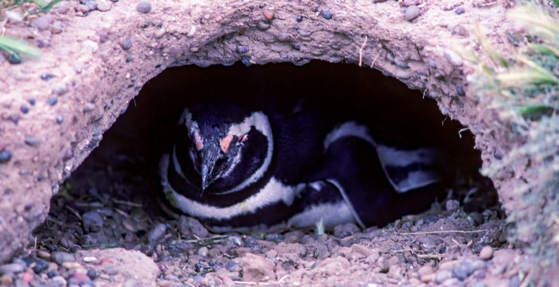 Punta Tombo pinguinos estresados