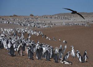 reproducción de pingüinos