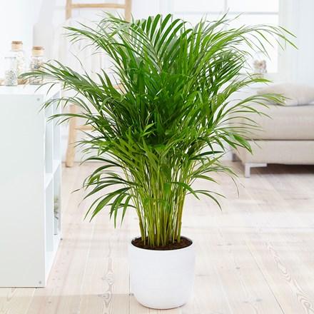 plantan limpian el aire del hogar