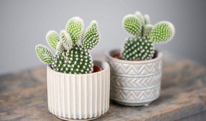 significado de los cactus