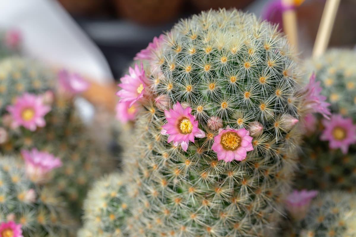 Qué significa regalar un cactus