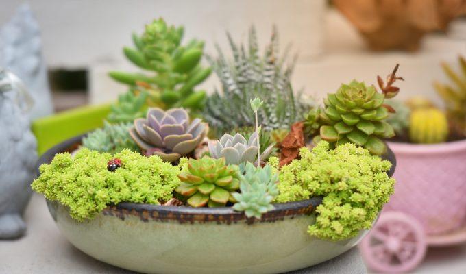 plantas suculentas cuidados