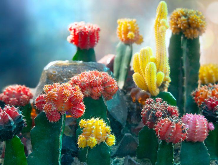 como reproducir cactus
