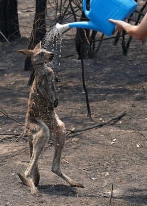 canguro incendio australia