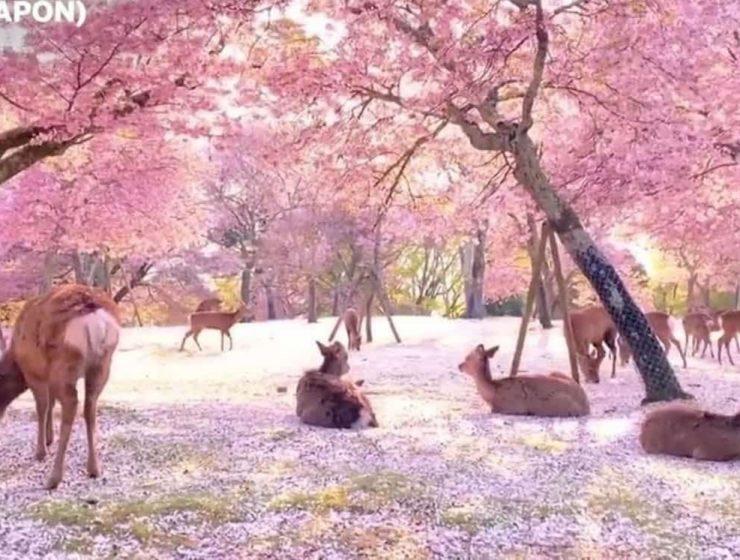 ciervos en japon cerezos en flor