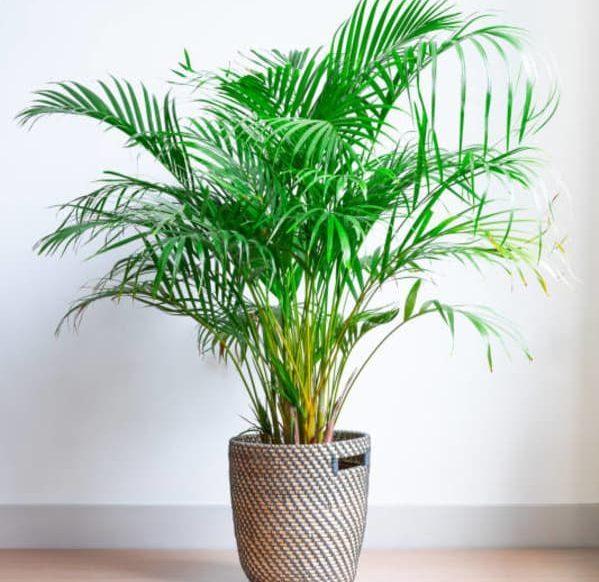 planta areca
