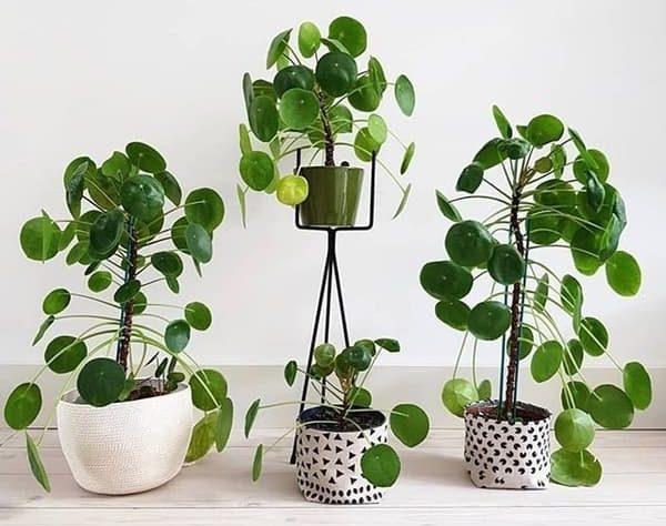 Planta Pilea Peperomioides