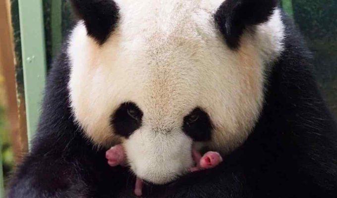 oso panda nacimiento