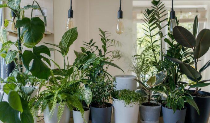 falta de hierro en plantas